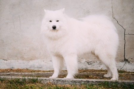 siberian samoyed: White Samoyed Bjelkier Dog Standing Outdoor on old stone wall background. The Samoyed is a breed of dog that takes its name from the Samoyedic peoples of Siberia.