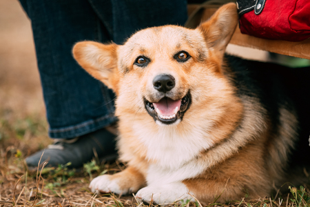 herding dog: Close up portrait of young Happy Welsh Corgi dog in dry grass outdoor. The Welsh corgi is a small type of herding dog that originated in Wales