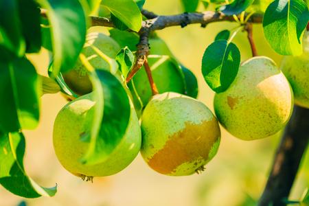 pear tree: Fresh Green Pears On Pear Tree Branch Stock Photo