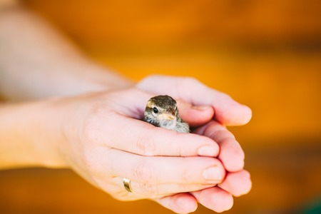 young bird: Young Bird Nestling House Sparrow - Passer Domesticus - Chick In Female Hands.