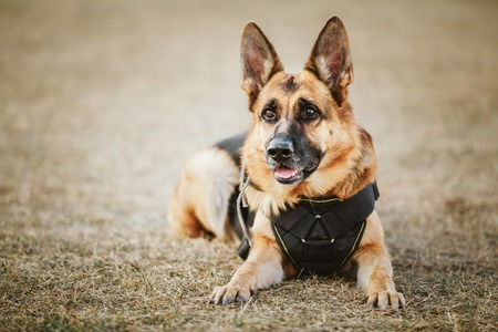 nature protection: Brown German Shepherd Dog Sitting On Ground Stock Photo