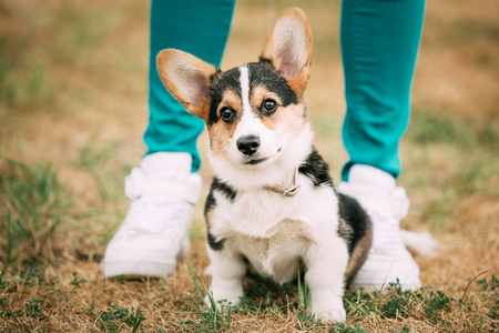 bred: Young puppy Welsh Corgi dog in dry grass outdoor. The Welsh corgi is a small type of herding dog that originated in Wales Stock Photo