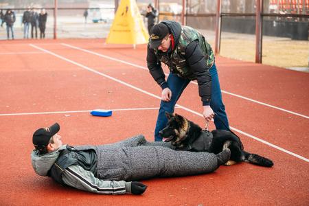 wrestle: GOMEL, BELARUS - February 21, 2014: German shepherd dog training in Gomel Regional sports club and decorative dog-breeding. Bitting dog.