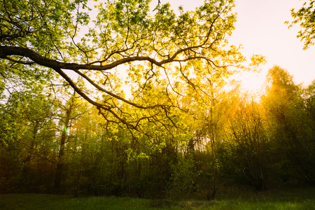 shining through: Sunlight Through Green Tree Crown - Low Angle View. Spring Sun Shining Through Canopy Of Tall Oak Trees. Upper Branches Of Tree. Stock Photo