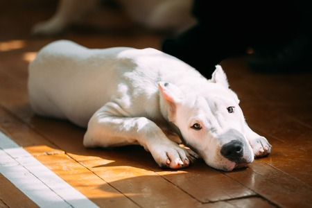 argentino: The Dogo Argentino also known as the Argentine Mastiff is a large, white, muscular dog that was developed in Argentina primarily for purpose of big-game hunting, including wild boar. White puppy dog