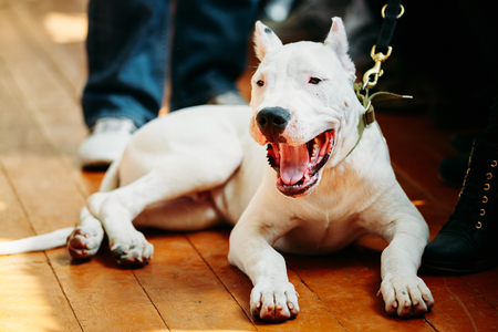 White puppy dog of Dogo Argentino also known as the Argentine Mastiff is a large, white, muscular dog that was developed in Argentina primarily for purpose of big-game hunting, including wild boar