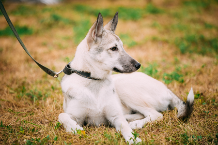 pure bred: Single Beautiful young russian Laika puppy Dog sitting on dry grass. Autumn season. Laika refers to a type of hunting dog of Northern Russia and Russian Siberia, and is a generic name for several breeds.