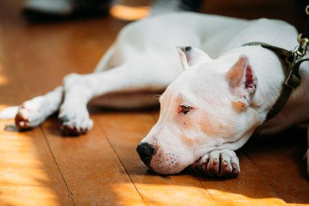 sitting on floor: White puppy dog of Dogo Argentino also known as the Argentine Mastiff is a large, white, muscular dog that was developed in Argentina primarily for purpose of big-game hunting, including wild boar