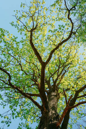 Canopy Of Tall Tree. Summer Nature, Sunny Day. Upper Branches Of Tree With Fresh Green Foliage