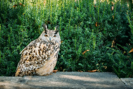 resides: The Eurasian eagle-owl wild bird - Bubo bubo is a species of eagle-owl that resides in much of Eurasia.