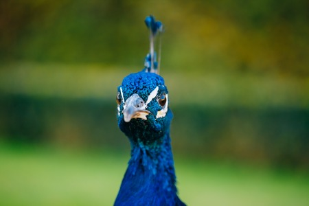 blue peafowl: Close up of Indian peafowl or blue peafowl - Pavo cristatus outdoor