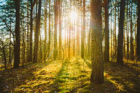 � spring: Puesta de sol salida del sol en primavera Bosque de Con�feras �rboles. Naturaleza Woods. HDR Foto de archivo