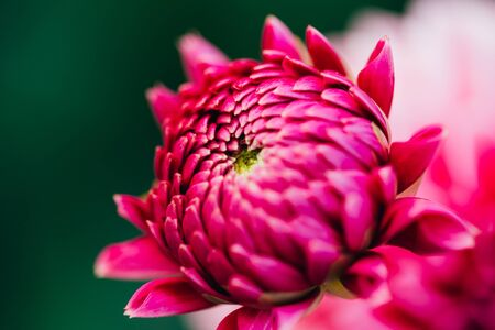 polen: Close up of pink dahlia flower. No polen