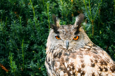 resides: The Eurasian eagle-owl wild bird - Bubo bubo - is a species of eagle-owl that resides in much of Eurasia.