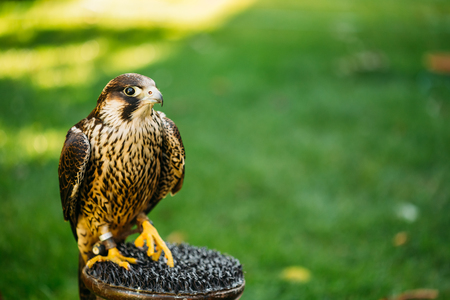 falconidae: The peregrine falcon - Falco peregrinus, also known as the peregrine, and historically as the duck hawk in North America, is a widespread bird of prey in the family Falconidae.