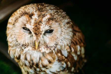 tawny owl: The tawny owl or brown owl - Strix aluco - is a stocky, medium-sized owl commonly found in woodlands across much of Eurasia.