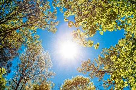 Spring Summer Sun Shining Through Canopy Of Tall Trees. Sunlight In Deciduous Forest, Summer Nature, Sunny Day. Upper Branches Of Tree With Fresh Green Foliage. Low Angle View. Woods Background Stock Photo