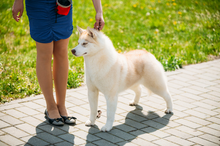 pure breed: Young White And Red Husky Puppy Eskimo Dog Staying Near Owner Outdoor Stock Photo