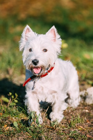 small dog: Happy West Highland White Terrier - Westie, Westy Dog Portrait