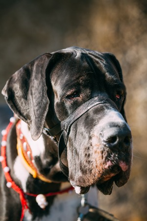The Great Dane is a large German breed of domestic dog known for its enormous body and great height. Stock Photo