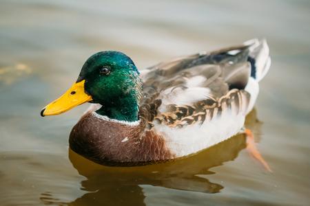 fauna: Wild duck swimming in river. European fauna