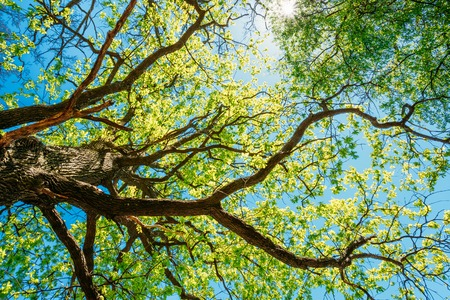 growing tree: Spring Sun Shining Through Canopy Of Tall Tree. Sunlight In Deciduous Forest, Summer Nature, Sunny Day. Upper Branches Of Tree With Fresh Green Foliage. Stock Photo