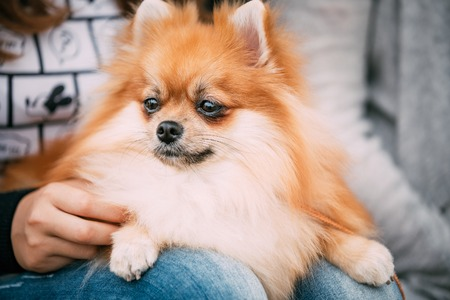 pure bred: Red Pomeranian Spitz  Small Dog Sits In Hands Of Mistress Stock Photo