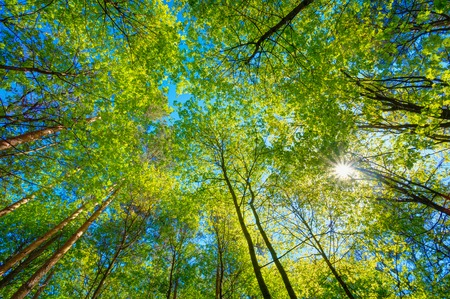 spring green: Spring Summer Sun Shining Through Canopy Of Tall Trees. Sunlight In Deciduous Forest, Summer Nature. Upper Branches Of Tree. Low Angle View. Woods Background. Stock Photo