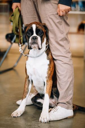 boxer dog: Perro del boxeador que se sienta cerca de propietario. El Boxer es una raza de perros, de pelo corto de tama�o medio desarrollado en Alemania