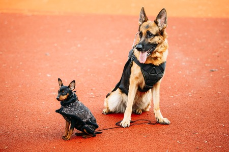 pincher: Brown German Sheepdog And Black Miniature Pinscher Pincher Sitting Together On Red Floor