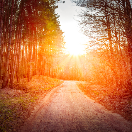 green forest: Sun shining over road, path, walkway through forest. Sunset Sunrise In Autumn Coniferous Forest Trees