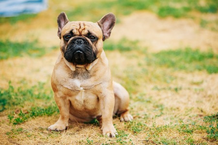 bulldog: Brown French Bulldog Dog In Park Outdoor