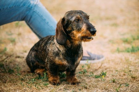 Brown Red wire-haired Dachshund Dog play outdoor in autumn season
