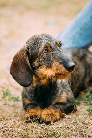 pure bred: Funny Brown Red wire-haired Dachshund Dog play outdoor