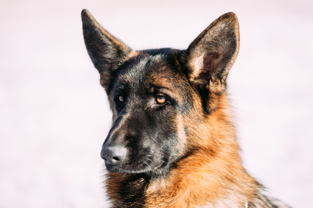 brown and black dog face: Close Up Young Brown German Shepherd Dog on Light Background