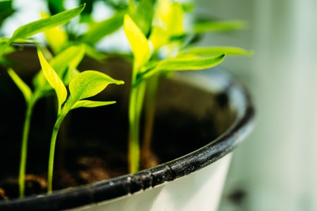 Green Sprout Growing From Soil in pot. Spring Agricultural Concept