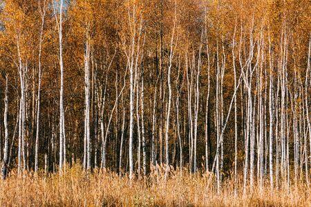 Beautiful Birch forest in autumn season. Natural background