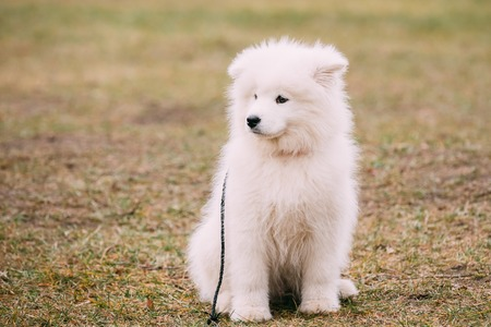 puppies: White Samoyed Puppy Dog Outdoor siti in grass in Park.