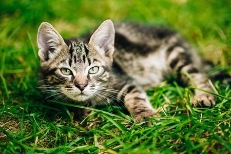Playful Cute Tabby Gray Cat Kitten Play In Grass Outdoor, Sunny Summer Day