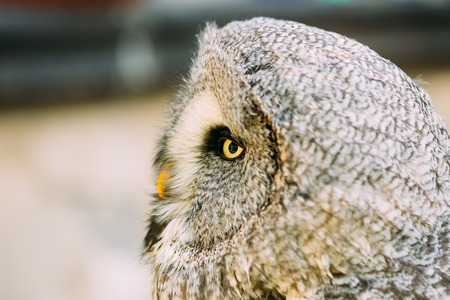 a large bird of prey: The great grey owl or great gray owl - Strix nebulosa is very large owl. Wild bird. Close up head, face.