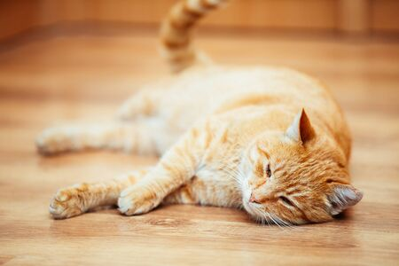 pet cat: Peaceful Red Cat Kitten Lying On Laminate Floor at Home