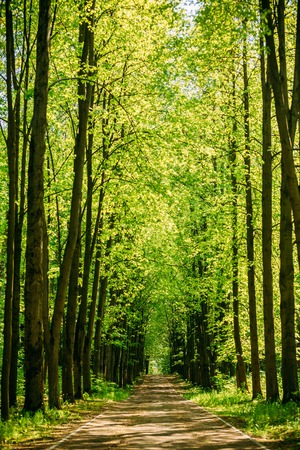 summer trees: Walkway Lane Path With Green Trees in Forest. Beautiful Alley, road In Park. Way Through Summer Forest. Stock Photo