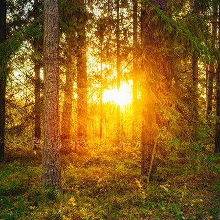 Sun shining through woods. Sunset Sunrise in Autumn Forest.