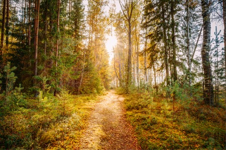 road and path through: Sun shining over road, path, walkway through forest. Sunset Sunrise In Autumn Forest Trees.