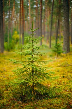 fir  tree: Small growing spruce fir tree in coniferous forest. Russian Nature Stock Photo