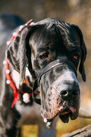 The Great Dane is a large German breed of domestic dog or Canis lupus familiaris known for its enormous body and great height.