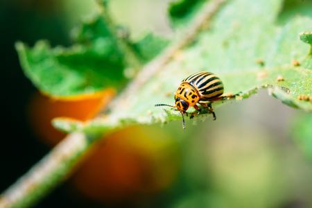 Close up of Colorado Potato Striped Beetle - Leptinotarsa Decemlineata, Serious Pest Of Potatoes plants. Macro photo Stock Photo
