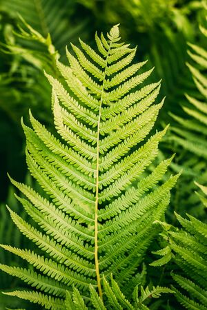 Beautyful ferns leaves green foliage natural floral fern background. Stock Photo