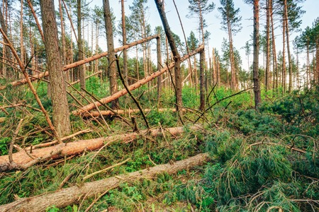 storm damage: Windfall in forest. Storm damage. Fallen trees in coniferous forest after strong hurricane wind Stock Photo