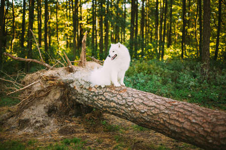 fallen tree: Happy White Samoyed Dog sitting on fallen tree in Forest Woods